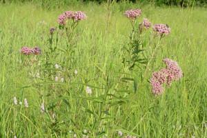 swampmilkweed