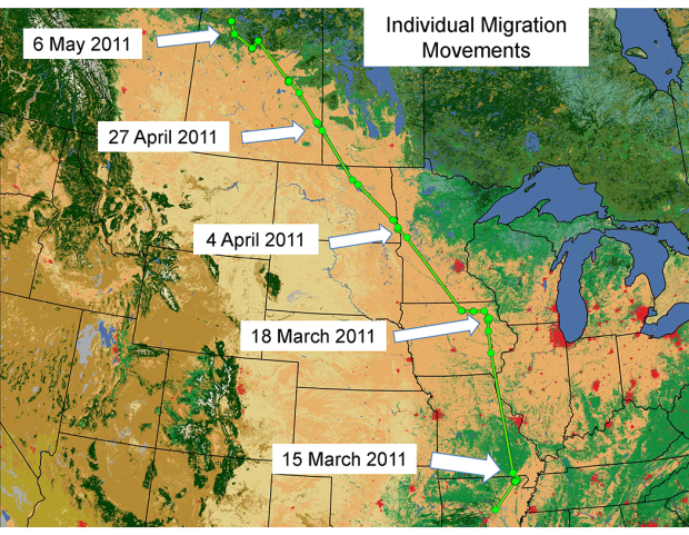 mallard migration